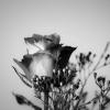 Black Rose  BLACK ROSE