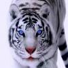 ankit tiger